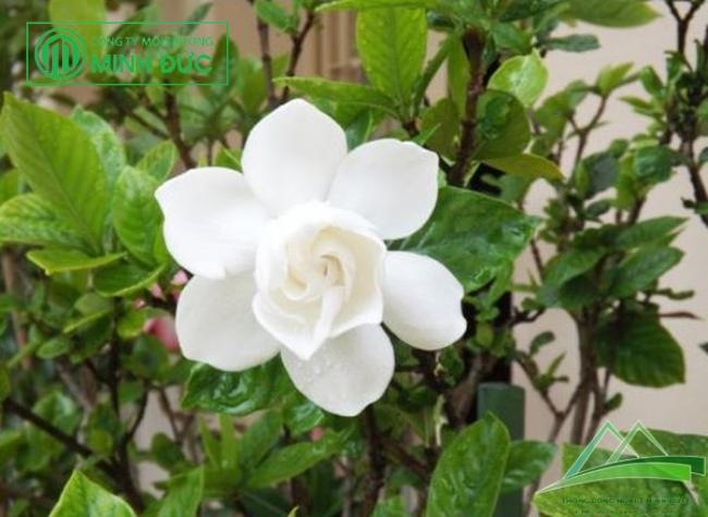 Cây Hoa Dành Dành